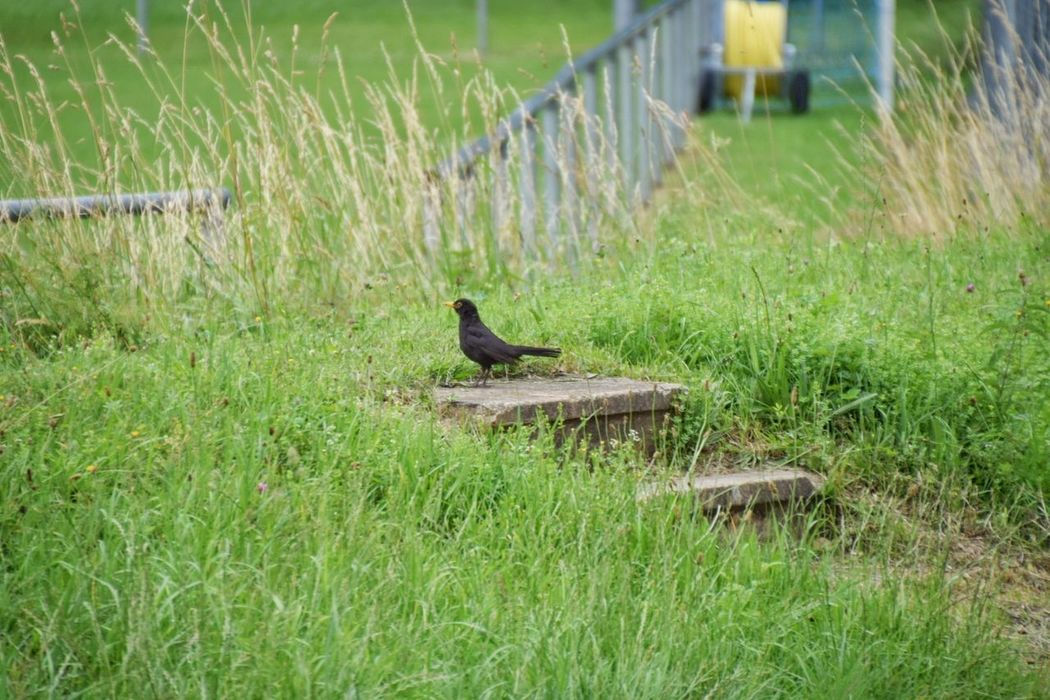 Grass Animals In The Wild One Animal Animal Themes Outdoors Nature Day Animal Wildlife No People Green Color Bird Nature On Your Doorstep Green Summer Color Nature Photography Black Black Bird Stone Stairway