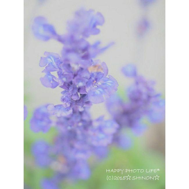 2015.06.24. * 今日は午後から雷雨予定だったけど またもやずっと快晴🌄 暑いくらいだったけど 息子はまだ鼻水出てたから 引きこもりでした(^_^;) * 庭の花 花 ブルーサルビア Garden gardening garden_flower flower my_garden my_pic olympus olympus倶楽部 om_d e_m1