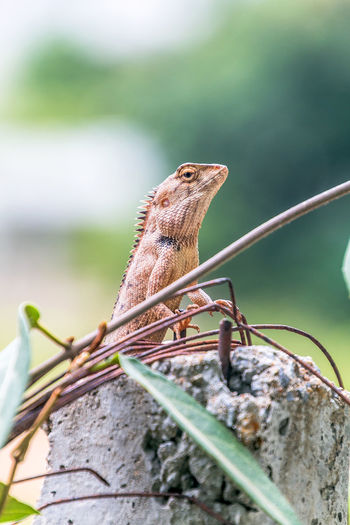 when chameleon is near rust steel. it'll change color skin like rust steel. Animal; Asia; Brown; Chameleon; Close Up; Cute; Dragon; Environment; Exotic; Life; Macro; Natural; Reptile; Rust; Skin; Steel; Texture; Thailand; Tropical; Widelife;