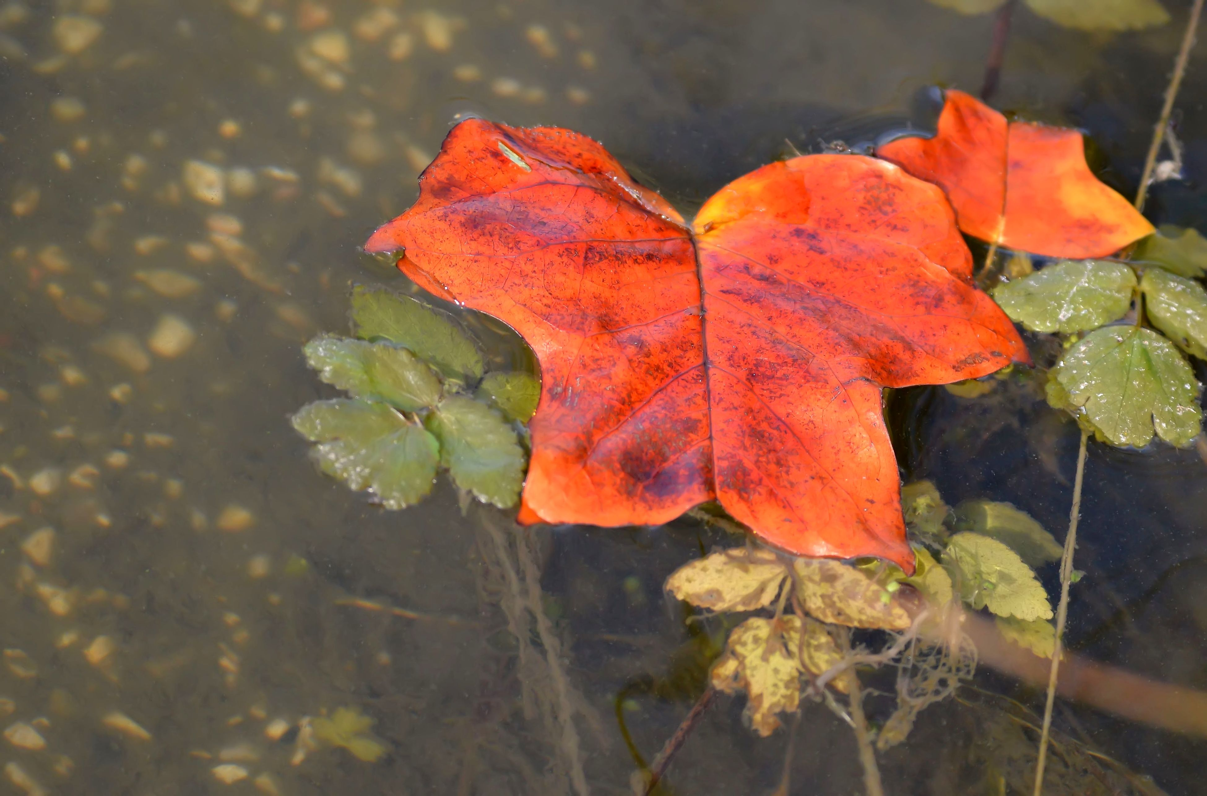 leaf, autumn, change, dry, nature, day, outdoors, close-up, fragility, no people, maple leaf, high angle view, water, focus on foreground, plant, beauty in nature, maple, growth, freshness