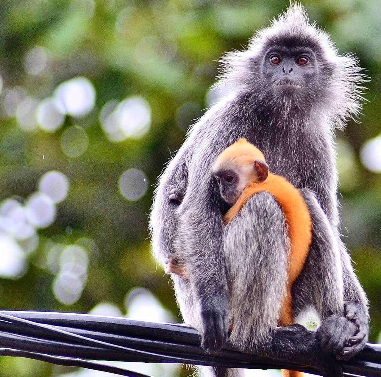 Close-Up Of Silvery Lutung With Infant On Cables