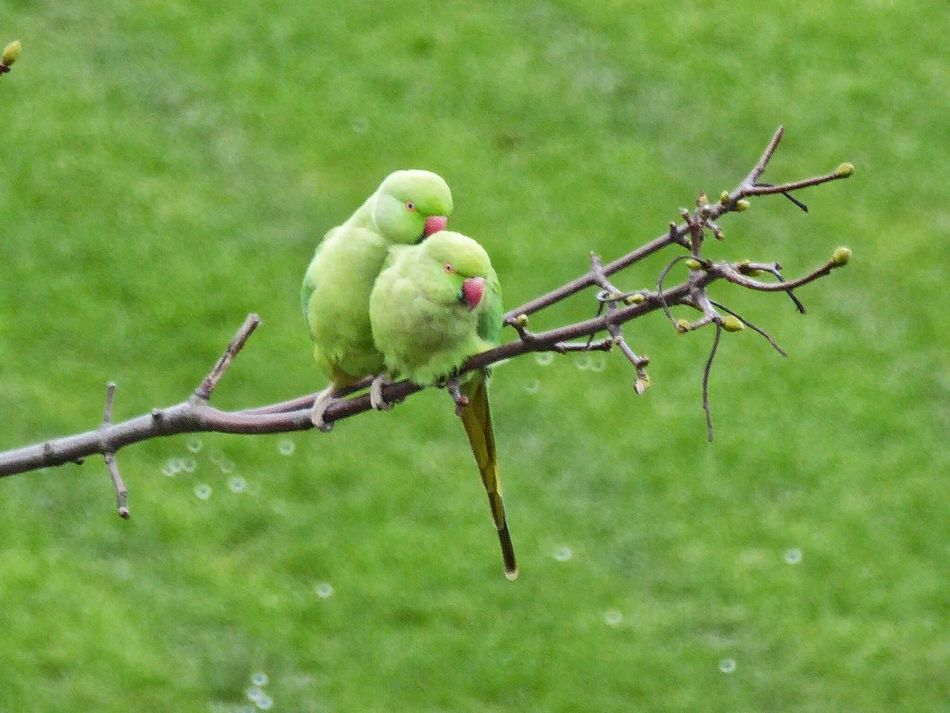 Rose-ringed Parakeets Rose-ringed Parakeet Rose Ringed Parakeets Parakeet Parakeets Bird Birds Bird Photography Birds_collection Birdwatching Bird Watching Husband And Wife Husbandandwife Husband & Wife My London