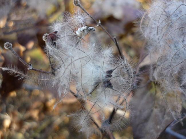 Botany Növény Plants Plant Nature Pattern Nature Nature_collection Nature Photography Naturelovers Szösz Természet Természetfotók Termés