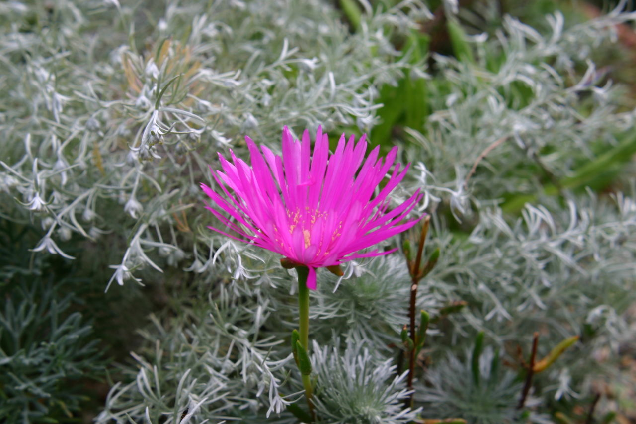Beauty In Nature Blooming Bright Close-up Day Flower Flower Head Foliage, Vegetation, Plants, Green, Leaves, Leafage, Undergrowth, Underbrush, Plant Life, Flora Fragility Freshness Garden Growth Nature No People Outdoors Petal Pink Color Plant Stand Out Summer