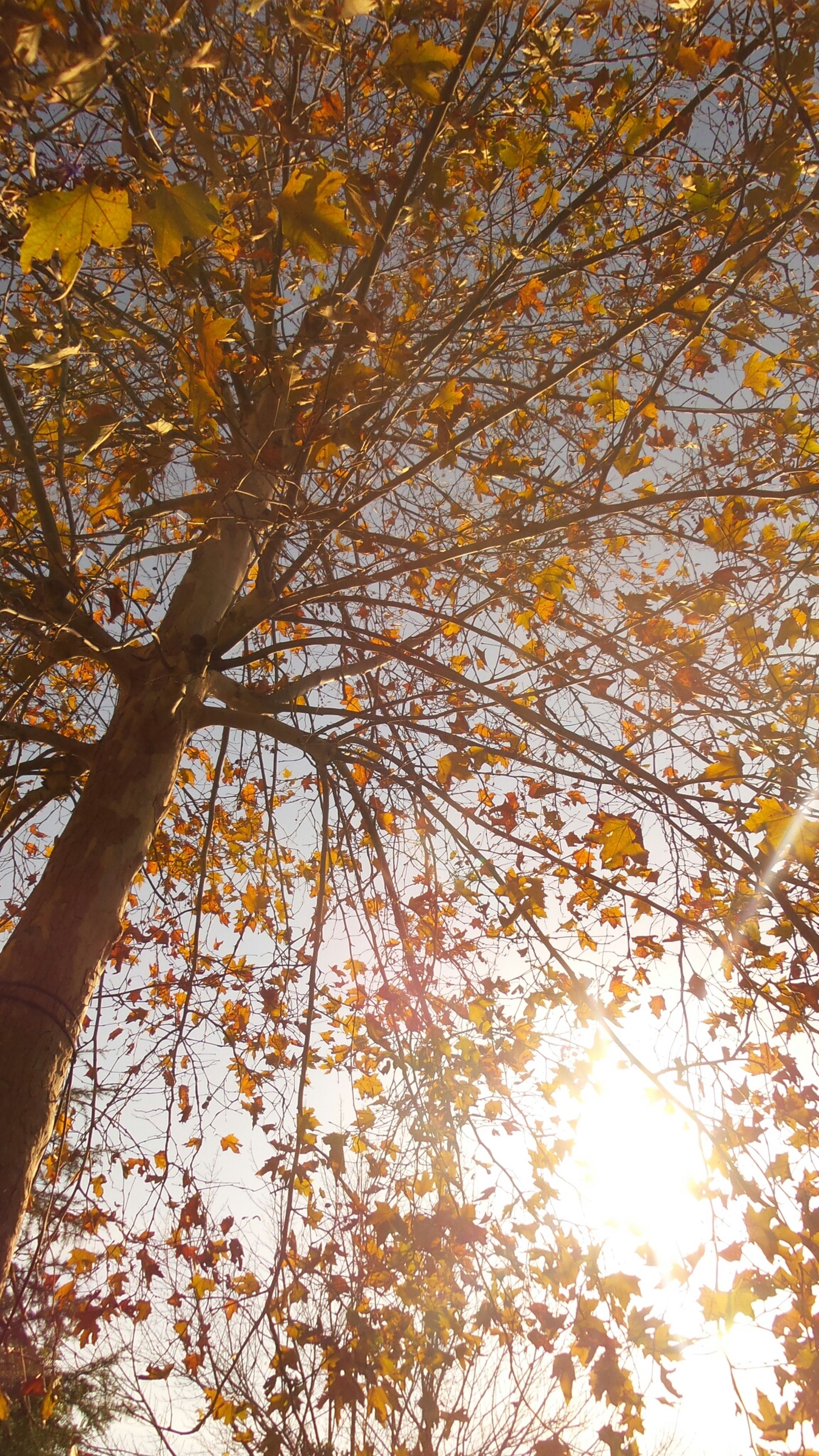 tree, branch, low angle view, growth, yellow, beauty in nature, nature, tranquility, autumn, sunlight, orange color, sun, scenics, season, change, sunset, outdoors, tranquil scene, sky, no people