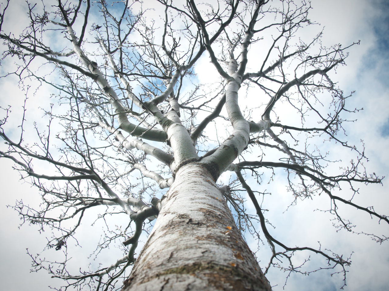 Tree in winter, California Tree Sky Outdoors No People Day California Nature Lines Growth Branches Trunk Tranquility Branch Beauty In Nature Bark Branches And Sky Dramatic Angles Lines In The Sky Winter Cloudy Sky Nature_collection Leafless