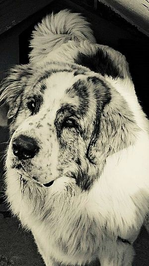 Dog Pets Domestic Animals Centenero Mastiff Dog Pyrineanmastiff