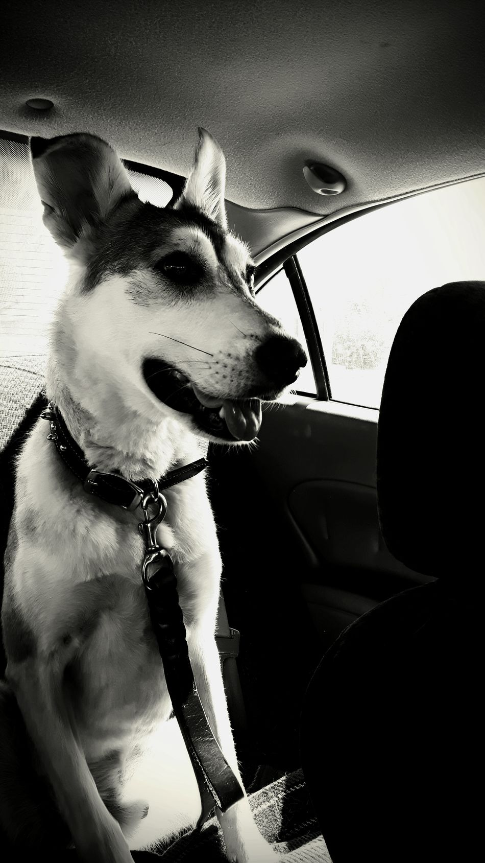 Black & White Lovehim Happy Sweety  Sweetheart Innocence Dogslife Doglover Dog Pets CarRides
