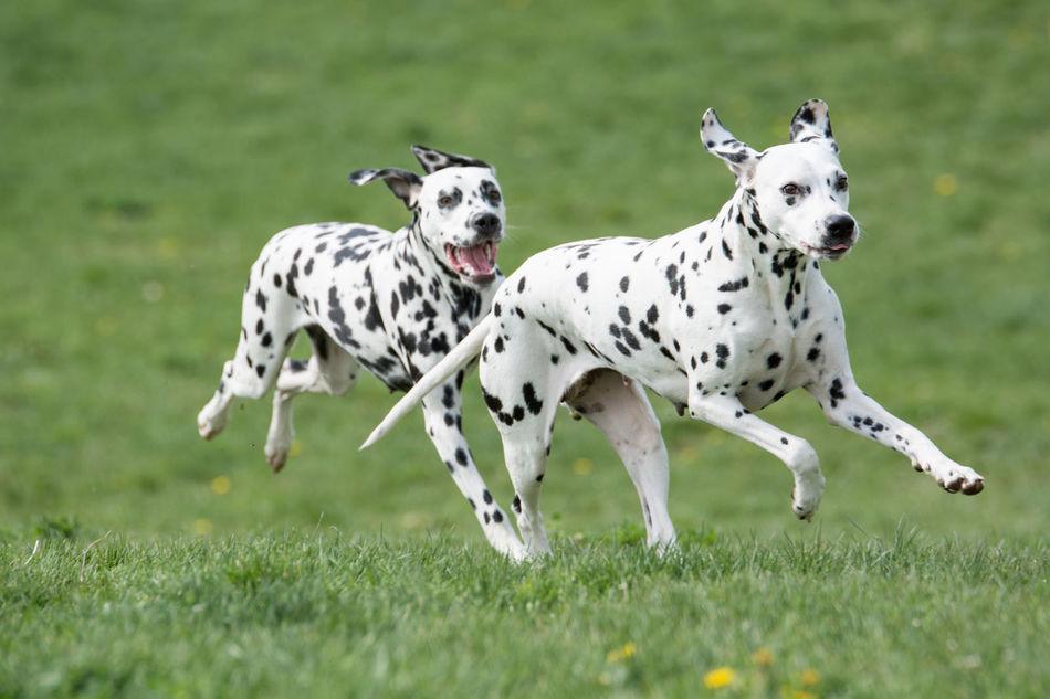 A young beautiful Dalmatian dog running on the grass Dalmatian Dalmatian Dog Dogs Domestic Animals Grass Mammals Running
