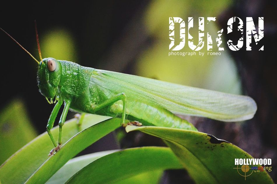 injured...must have two more main legs...Hello World EyeEm Nature Lover Kopiko Macro_collection Animal Photography Insect Photography Grasshoppers Grasshopper Insect Nature