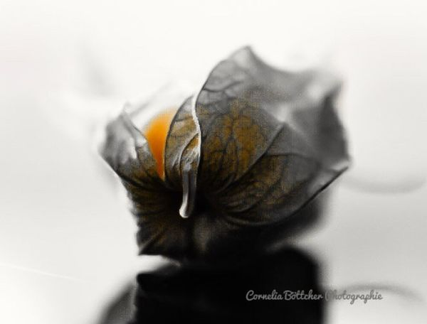 Close-up No People Butterfly - Insect Fragility White Background Crumpled Crumpled Paper Nature Day Picoftheday Indoors  Indoors  Photooftheday Photography Picture Beauty In Nature Fotooftheday Physalis Fruit Physalia Physalis Früchtchen Pic Picofday Nature Food And Drink Freshness