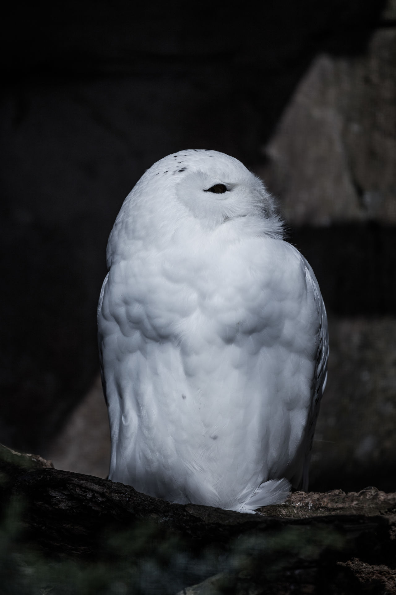 animal wildlife Animals in the Wild awaking black and white cold temperature darkness and beauty darkness and light eye Feathers light and shadow Looking At Camera minimal minimalobsession Natural Beauty Nature photography naturelovers Night Photography Nightphotography owl sleeping snow warm clothing white Winter Wintertime Let there be Snow - Said That Snow Owl