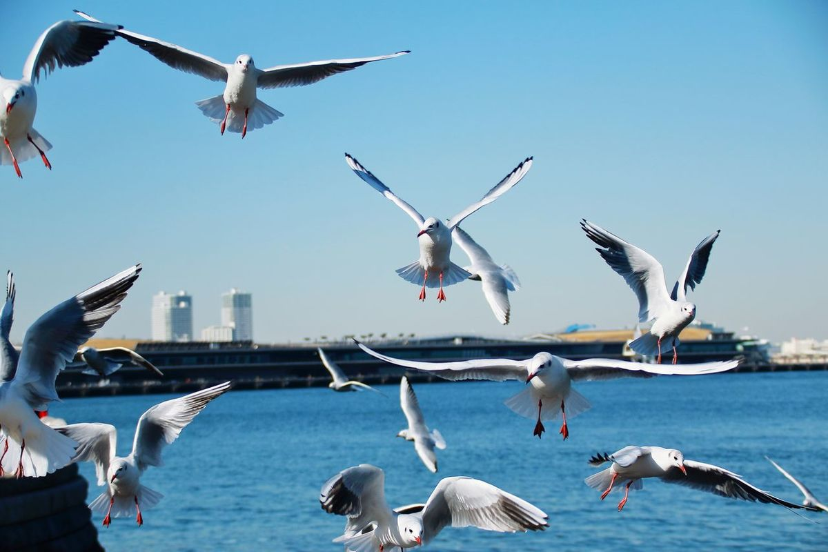 Flying Bird Animals In The Wild Animal Themes Animal Wildlife Spread Wings Large Group Of Animals Mid-air Seagull Water Day Flock Of Birds Outdoors Clear Sky No People Flapping Sky Nature Togetherness