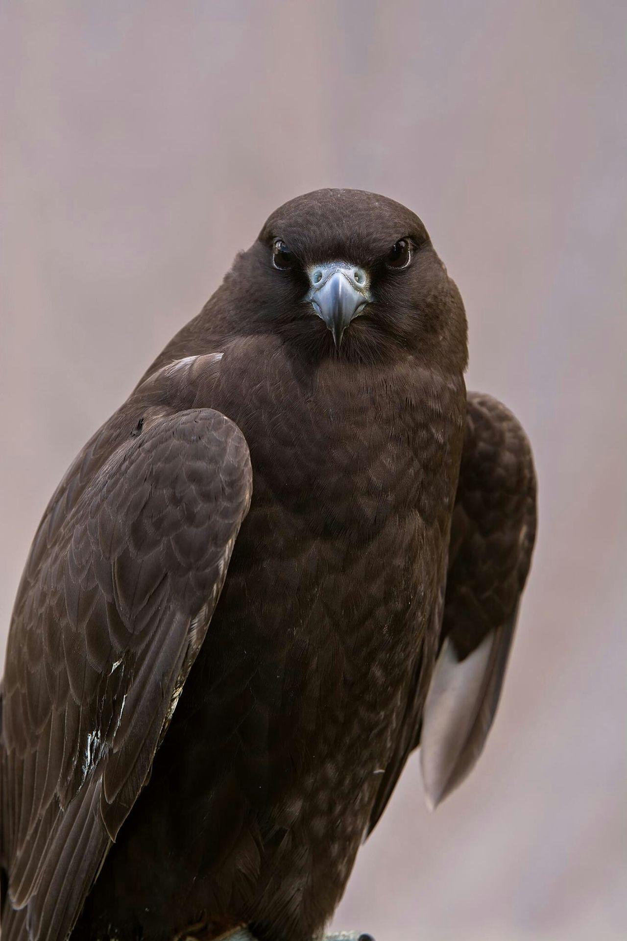 Rapace  Oiseaux Bird Of Prey Animaux Bird Predatory Wildlife & Nature Photo Around You France Predator