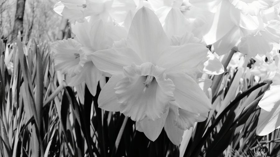 Flower Beauty In Nature Nature Fragility Flower Head Growth Petal Close-up Outdoors No People Plant Day Blackandwhite