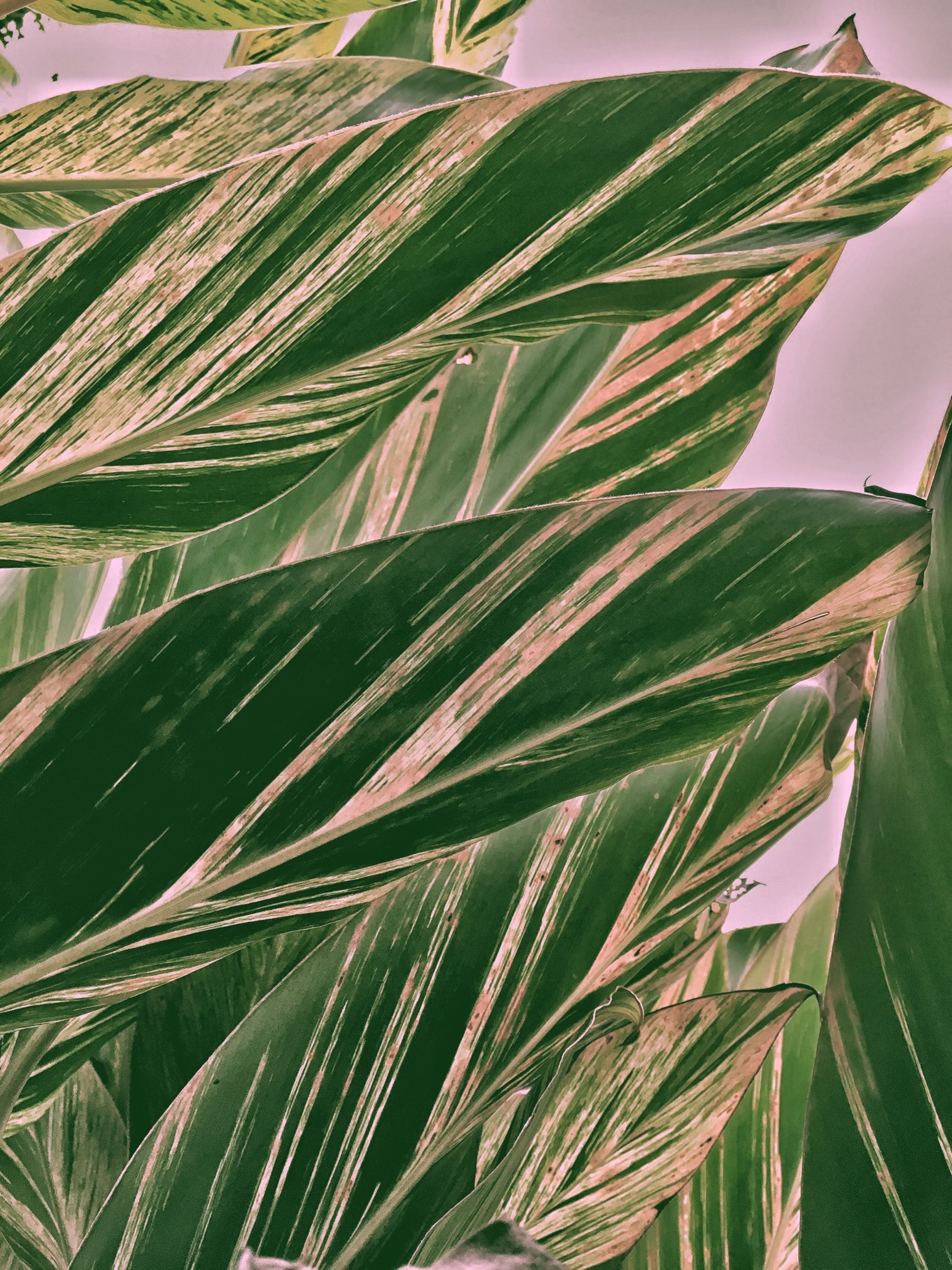 leaf, growth, green color, plant, nature, palm tree, beauty in nature, close-up, green, agriculture, tranquility, palm leaf, leaves, day, outdoors, natural pattern, freshness, growing, no people, leaf vein