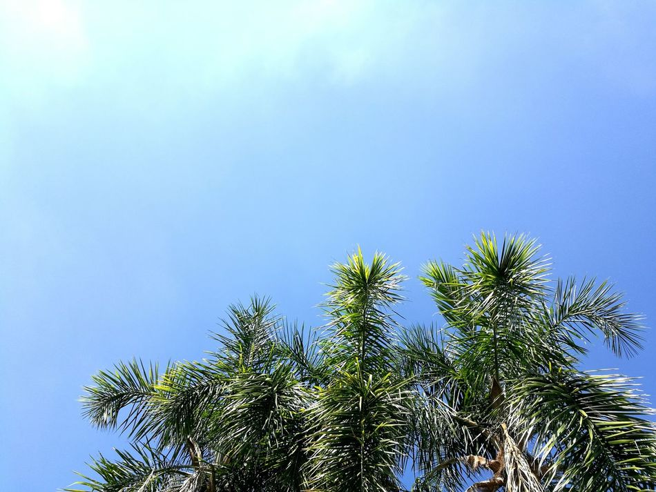 Foxtail palms and blue sky Tree Blue Nature No People Sky Low Angle View Growth Beauty In Nature Branch Clear Sky Outdoors Garden Foxtail Fox Tail Palm Summer Copy Space