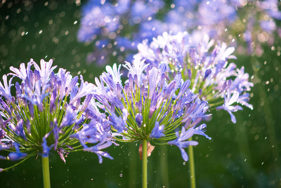 Agapanthus, rain and sun. Agapanthus Beauty In Nature Blue Flowers Botany Close-up Day Flower Flower Head Fragility Freshness Garden Growth Nature No People Outdoors Petal Plant Purple Rain Rain And Sun Spring Summer Water