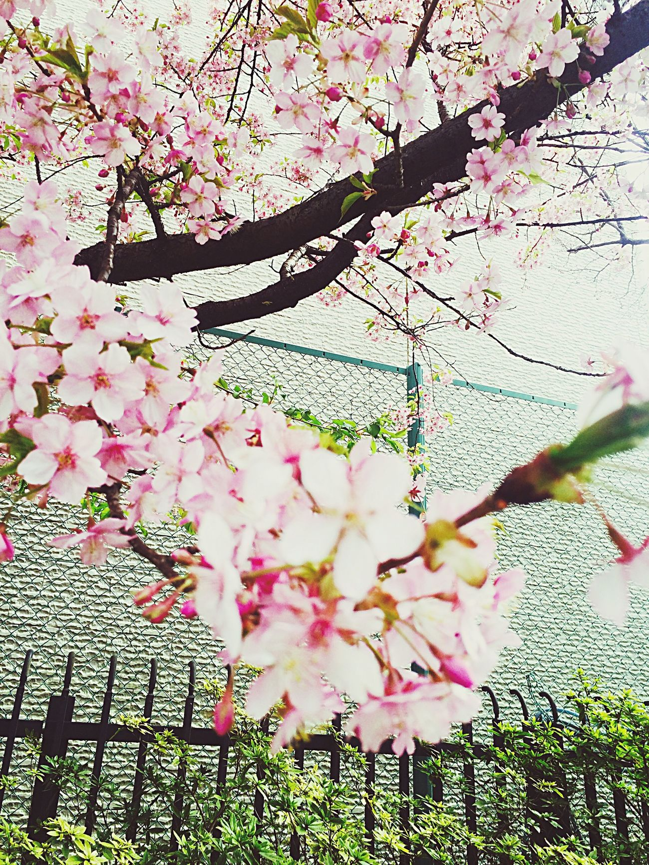 Flawer🌸 Cherry Blossoms Spring Setagaya