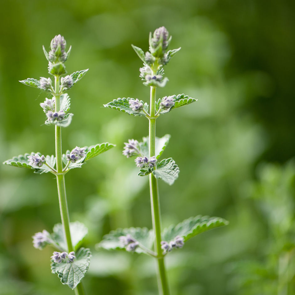 Beauty In Nature Catnip Close-up Day Flower Flower Head Fragility Freshness Growth Insect Nature No People Outdoors Plant