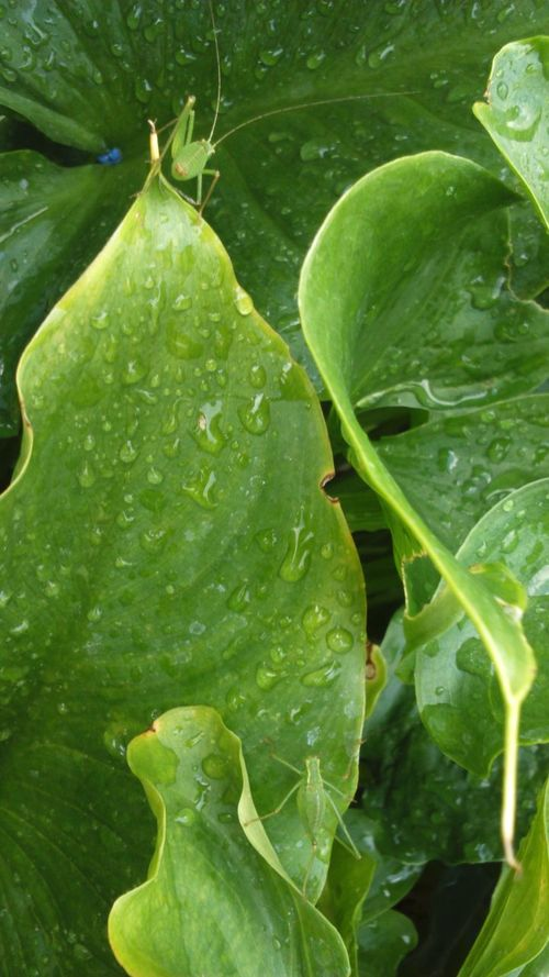Grass Hoppers  Grasshoppers Wet Leaves Rain Drops On Leaves Small Creatures Camouflaged Camouflage Green Nature Greenery Nature Water Rain Drops Raindrops Wet Lily Leaves Leaves Green Leaves Green Four Legs Insects  On A Leaf Plant Leaves