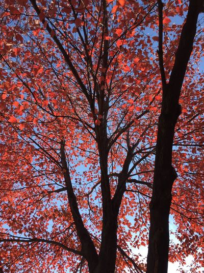 Beautifully Organized Tree Nature Low Angle View Branch Beauty In Nature Growth Visual Poetry Day Outdoors Sky Close-up Louisville, Kentucky Fall Collection Fall Leaves Fall Colors Countryside