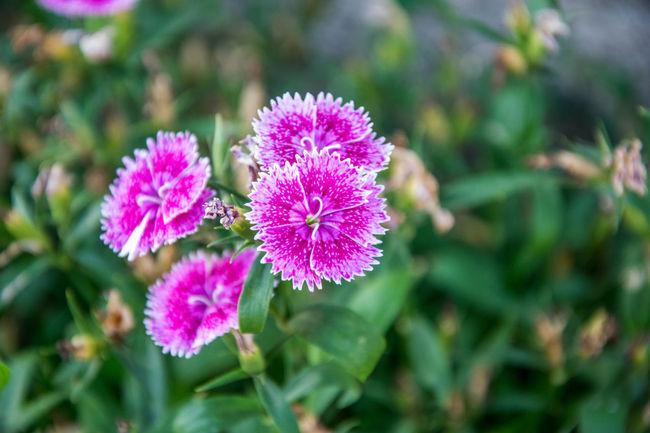 Close-up Flower Flower Head Fragility Freshness Nature Oeillet Pink Color