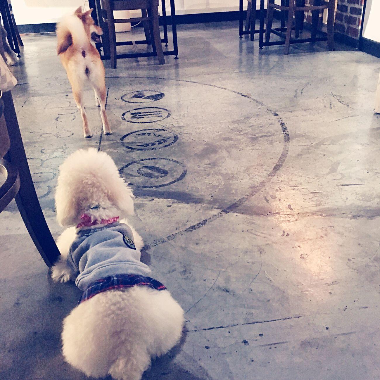Deweythedog Toypoodle Pets Dog Poodlesofinstagram Poodletoy Pets Corner Pets Cafe Shiba Inu