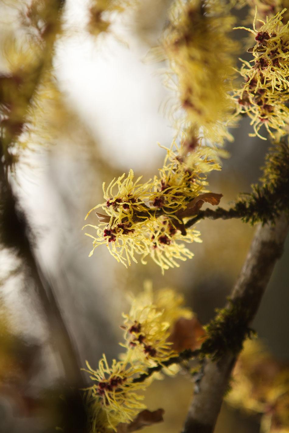 Witch hazel in flower Flower Hamamelis Nature Outdoors Plant Tree Witch Hazel Witch Hazel Flower Witch Hazel Plant Yellow Yellow Flower