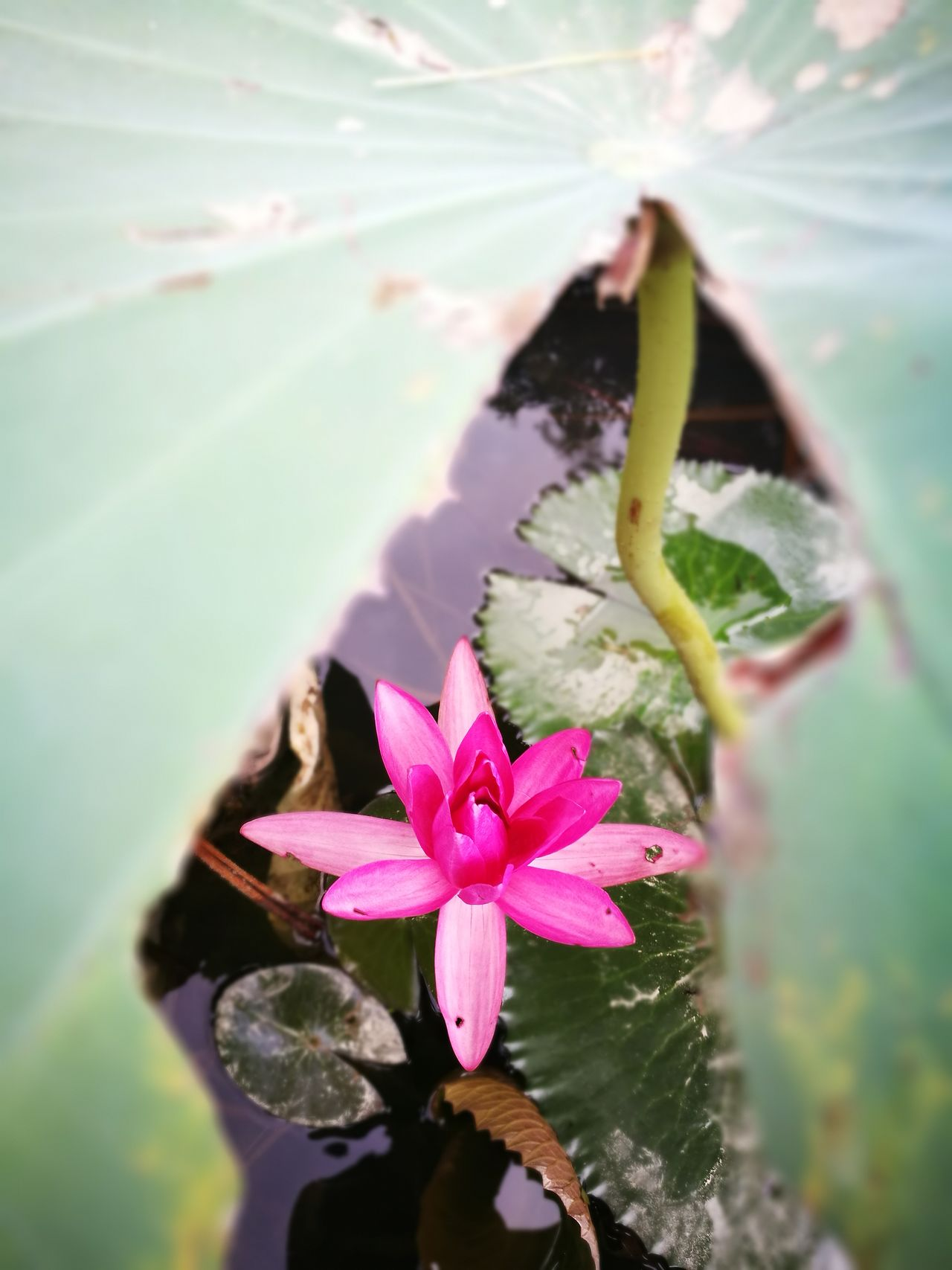 Flower Freshness Fragility Water Beauty In Nature Petal Nature Close-up Flower Head Selective Focus Pink Color Blossom Springtime Growth In Bloom Pink Focus On Foreground Day Water Lily Outdoors Lotus Flower Beautiful Taiwan Huawei P9 Plus Natural Light