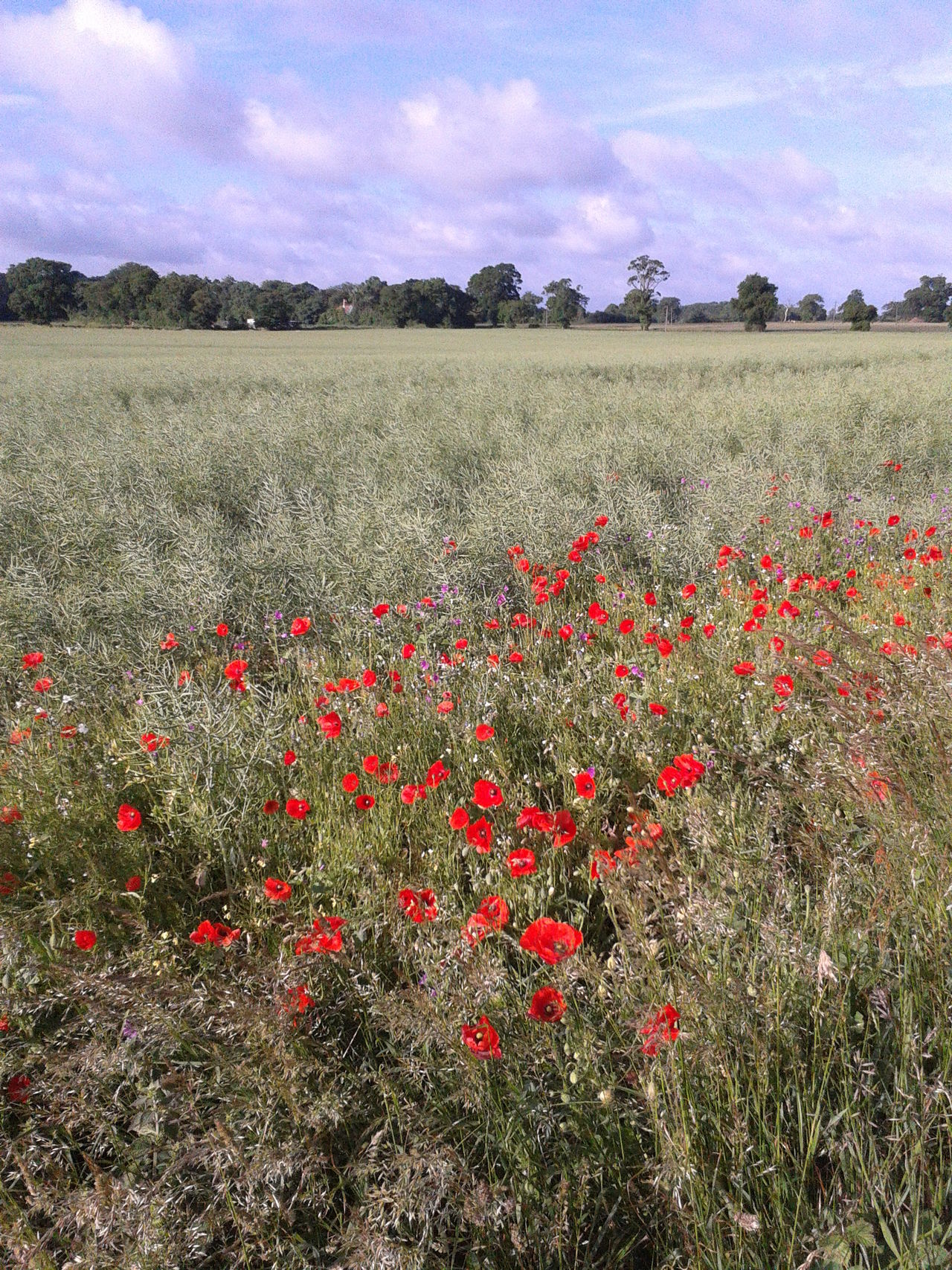 Suffolk, United Kingdom Agriculture Growth No People Nature Plant Outdoors OilSeedRape Poppy Flowers Poppies  Poppies In Bloom