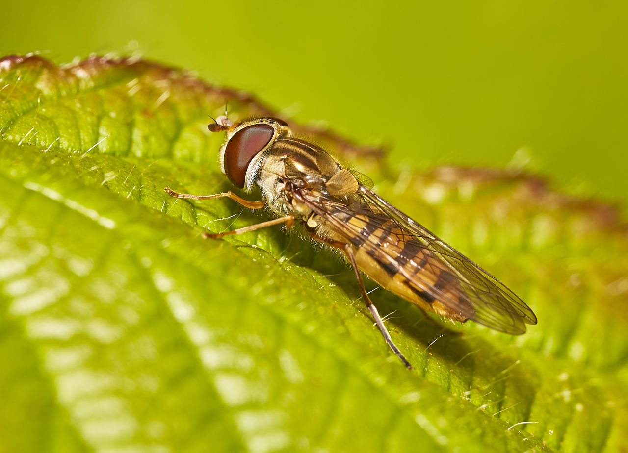 Hoverfly on Leaf Animal Themes Animals In The Wild Close-up Day Green Color Hoverfly Insect Leaf Macro Nature No People One Animal Outdoors