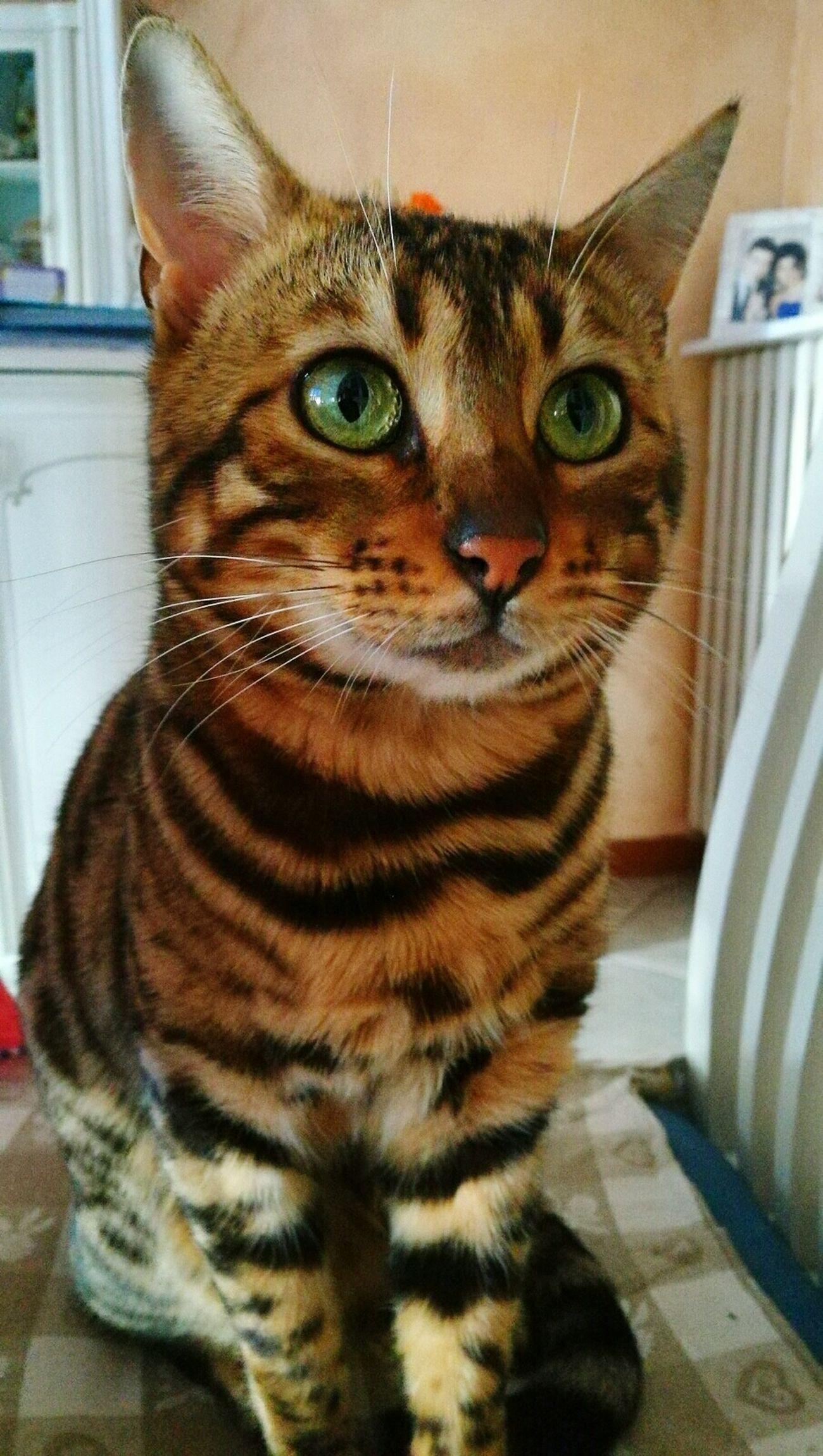 Domestic Cat Pets Feline Animal Eye Domestic Animals Cat Animal Themes Cats Cat Lovers Cateyes Eyecat