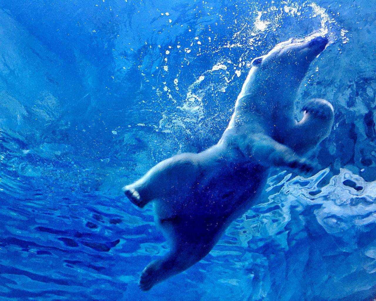 Chimelong Polar Bear Bear Ocean Animals Zoo Blue