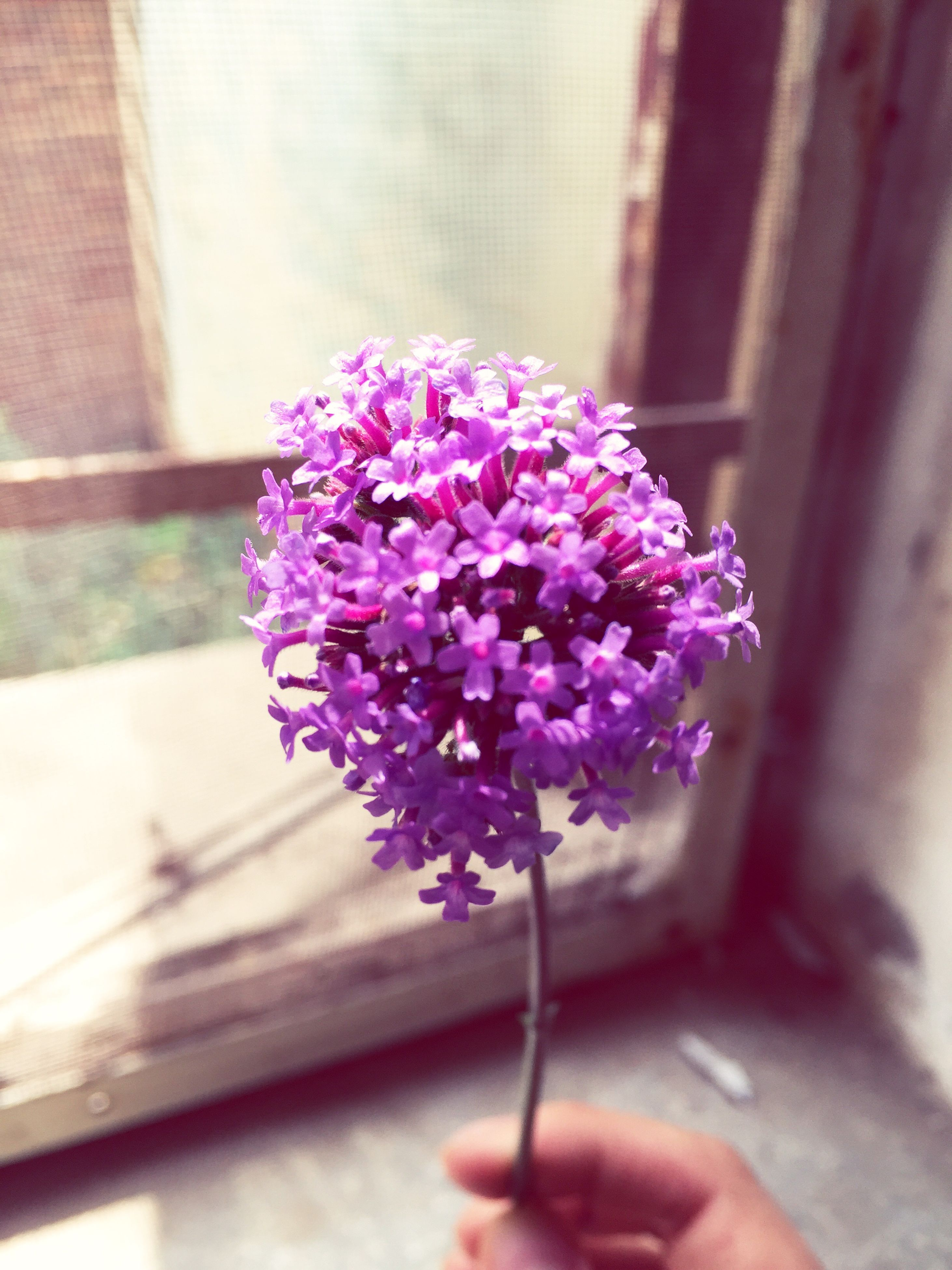 flower, freshness, fragility, pink color, petal, flower head, indoors, close-up, growth, focus on foreground, potted plant, bunch of flowers, beauty in nature, vase, pink, nature, purple, table, plant, blossom