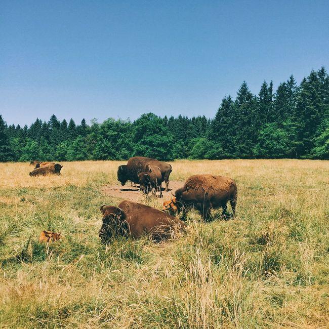 Bison in San Diego Zoo safari Park Clear Sky Tree Livestock Grass Bison