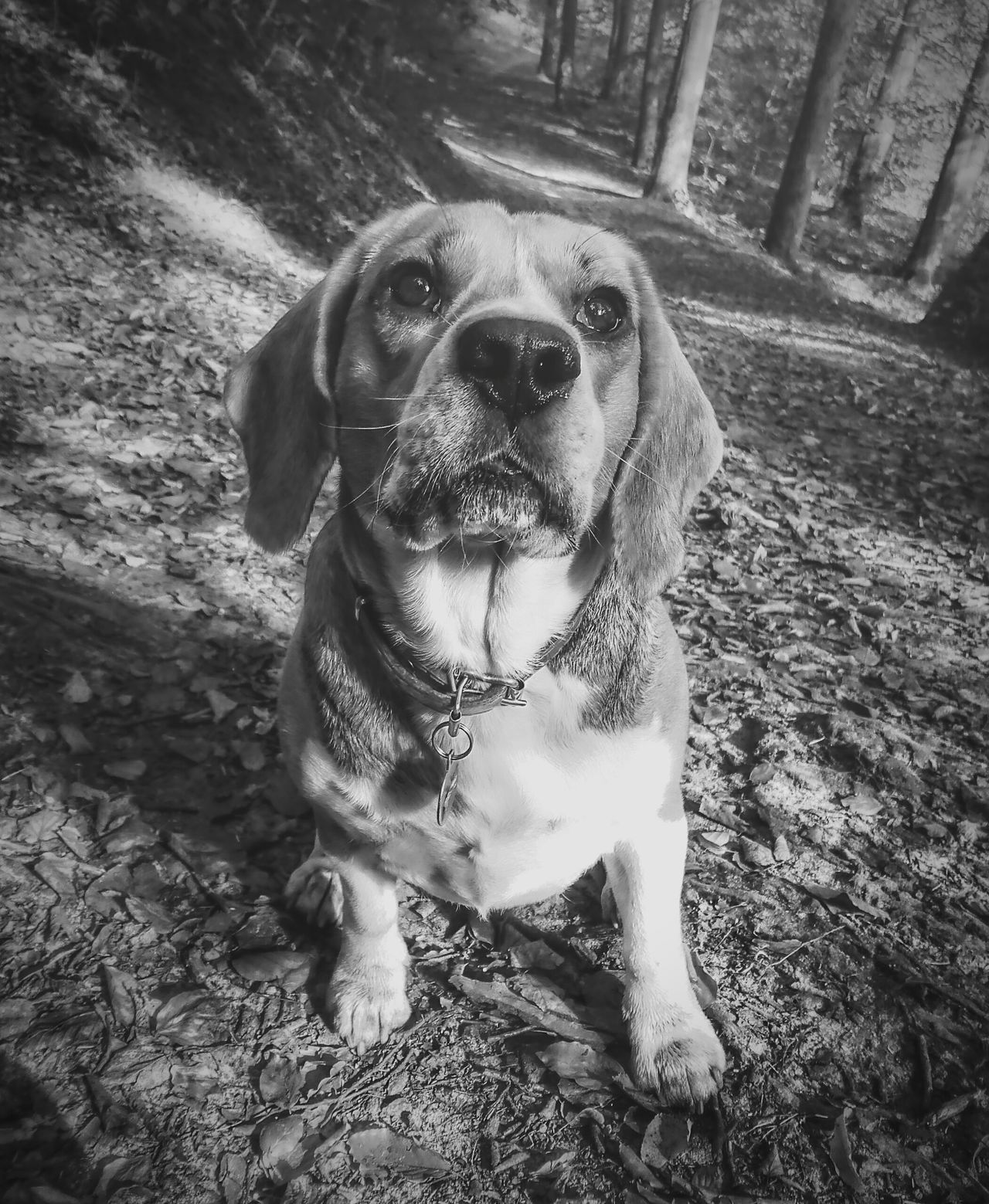 Dog Pets One Animal Domestic Animals Animal Themes Portrait Mammal Day Sitting No People Outdoors Looking At Camera Nature Forest Beagle Beagle Dog Beagles  Beagle Love Beagleworld Dog Dog Looking Beagles Of Eyeem Bw Blackandwhite Photography Black&white