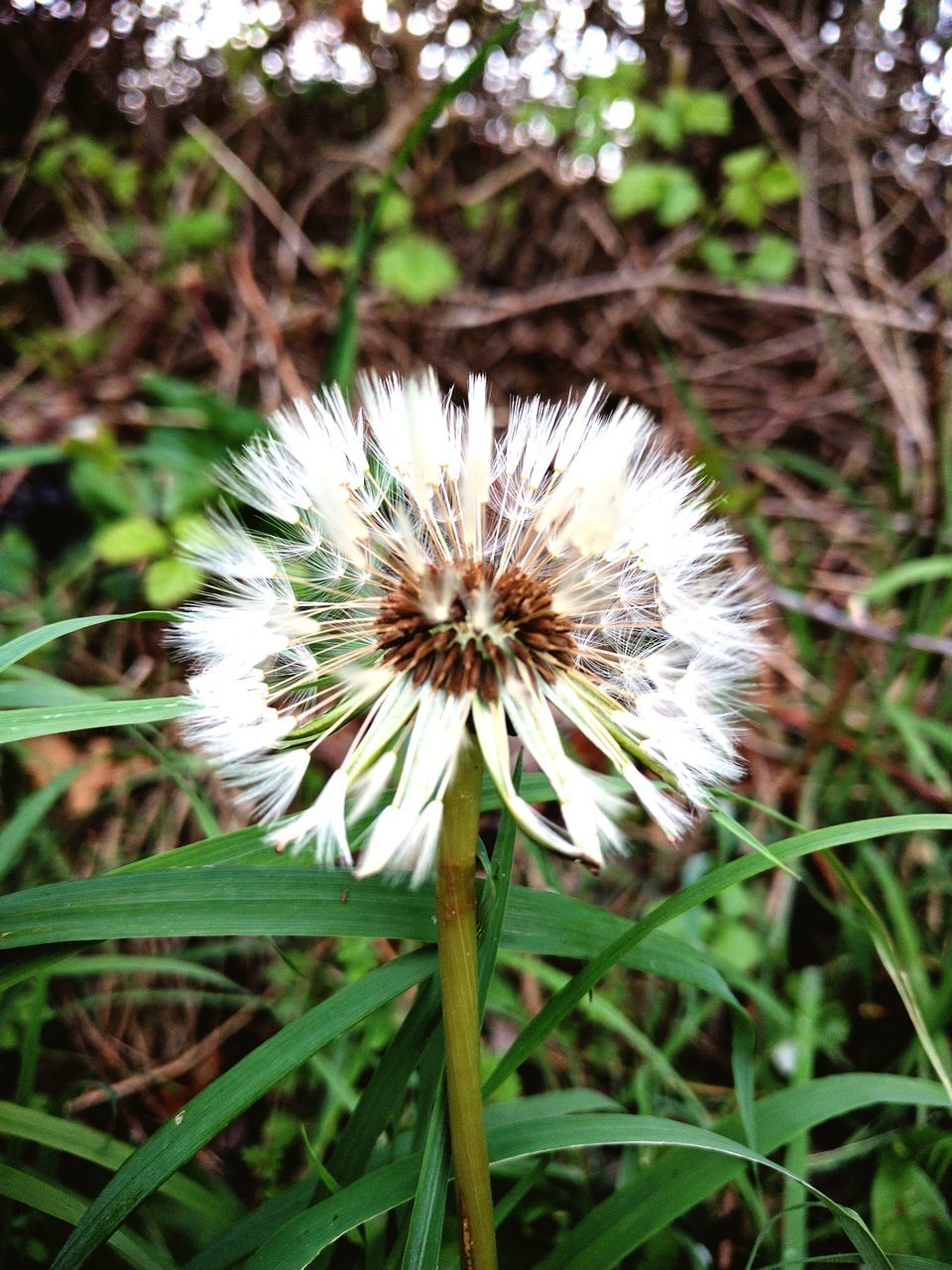 flower, growth, nature, dandelion, white color, plant, beauty in nature, flower head, fragility, no people, grass, freshness, outdoors, close-up, day