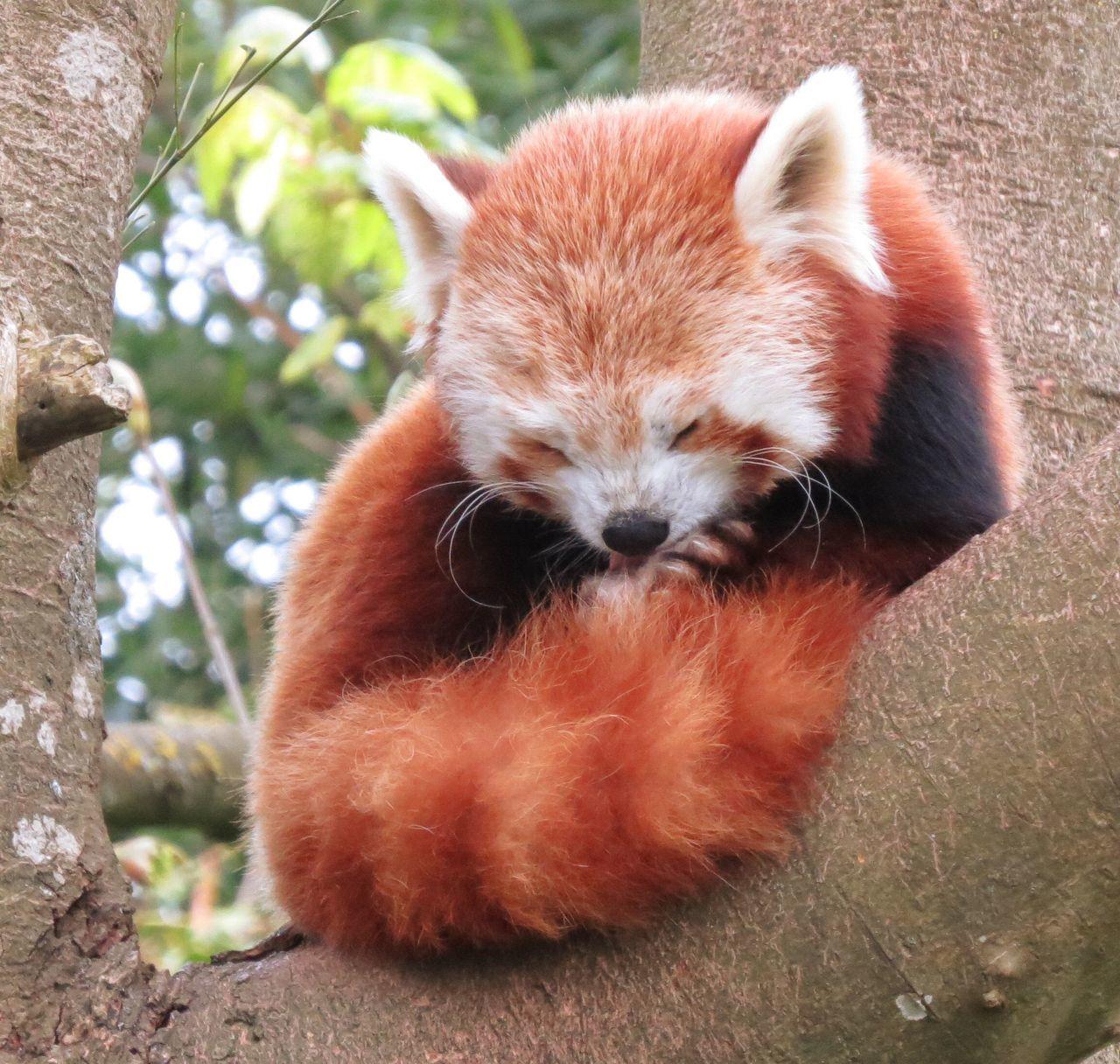 Sleeping Red Panda Animals Panda Redpanda