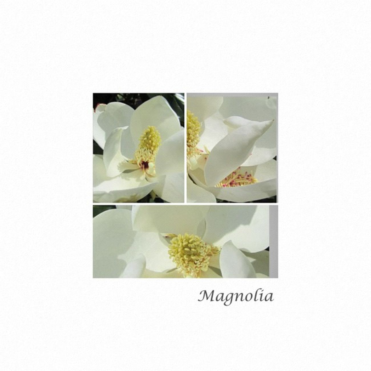 #fuzel fuzelapp Lovely Magnolia Trio Teg Flowerpop Awesome_shot Tree Blossom Magnolia Flowerlove Artflowers All_shots Fuzel 10likes Jj  Instagramhub Webstagram Instanature 15likes Flowersofinstagram Flowermagic