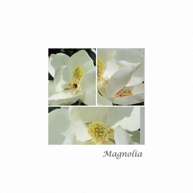 #fuzel fuzelapp Lovely Magnolia Trio Teg Flowerpop Awesome_shot Tree Blossom Magnolia Flowerlove Artflowers All_shots Fuzel 10likes Jj  Instagramhub Webstagram Instanature 15likes Flowersofinstagram Flowermagic