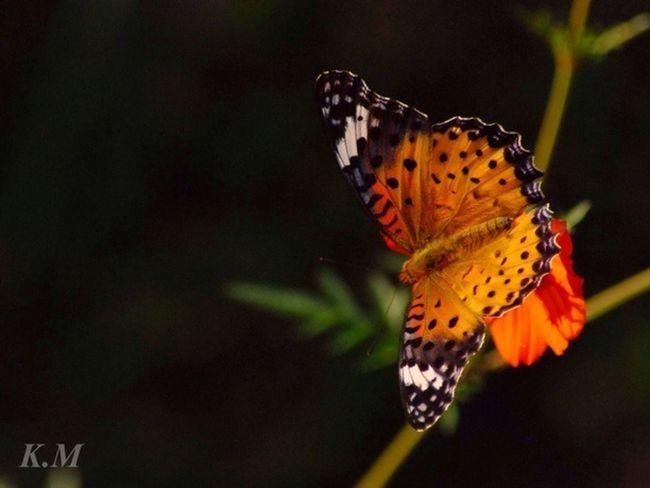 ツマグロヒョウモン メス Butterfly Tadaa Community Eye Em Around The World 勝蝶 蝶