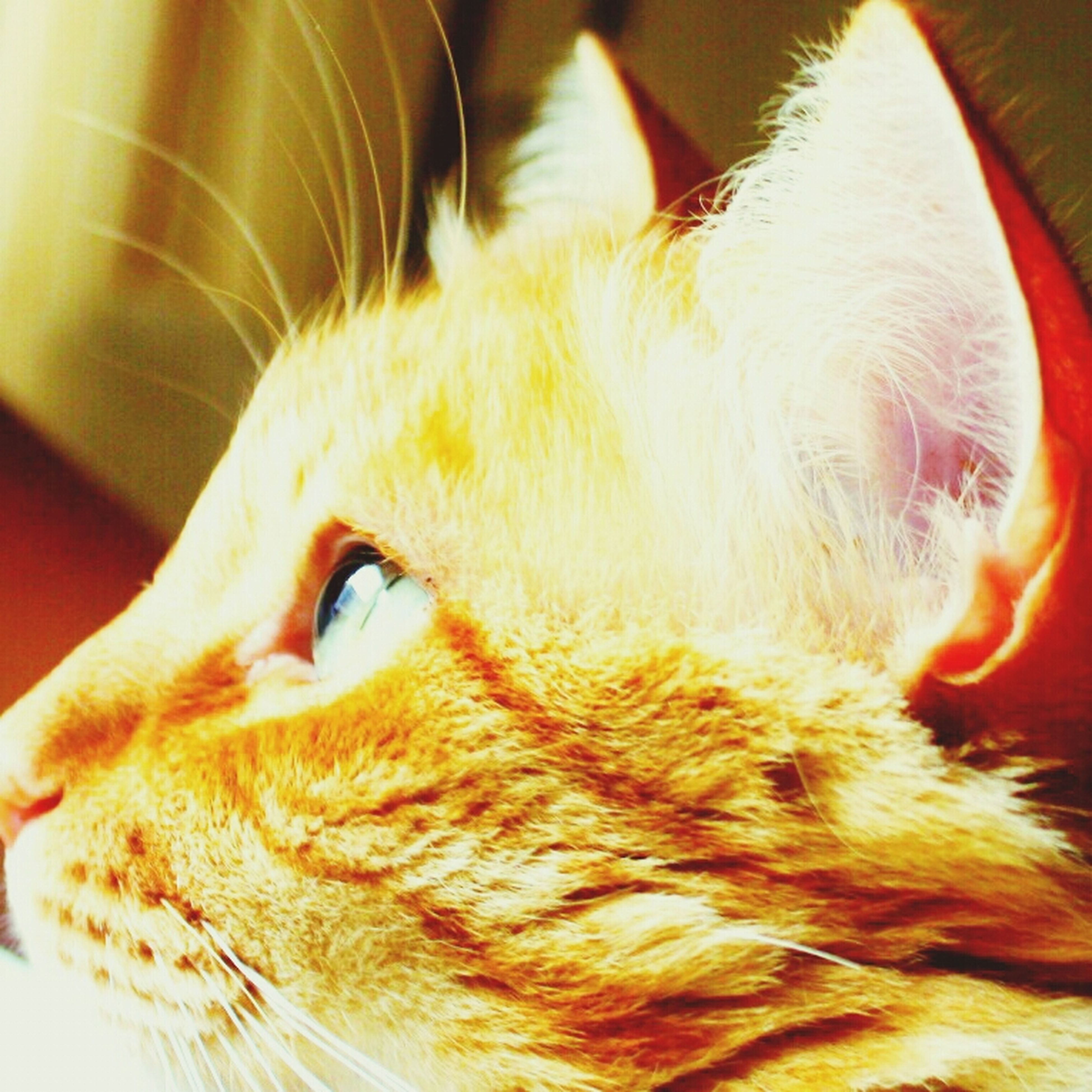 one animal, domestic animals, animal themes, pets, indoors, mammal, domestic cat, close-up, cat, animal head, whisker, feline, animal body part, part of, looking away, relaxation, focus on foreground, home interior, no people, animal eye