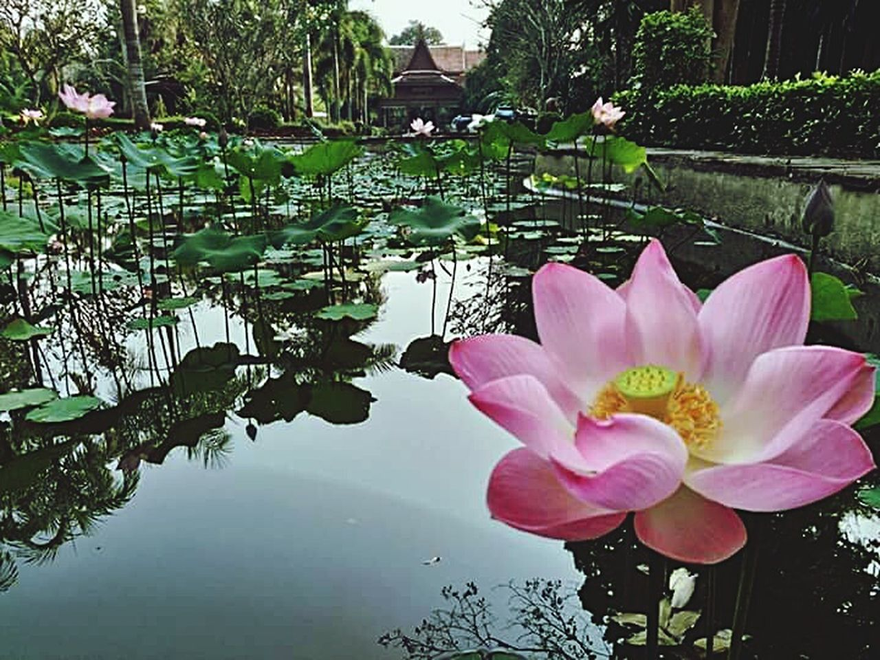pond, flower, water lily, reflection, pink color, water, nature, beauty in nature, petal, plant, lotus water lily, leaf, floating on water, outdoors, flower head, no people, day, growth, lotus, fragility, freshness, lily pad, tree, close-up