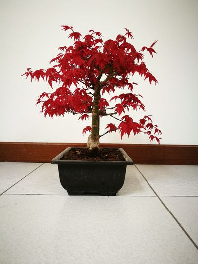 Tree Plant Table Growth Indoors  No People Day Nature Maple Bonsai Spring Acer Tree Acerorosso