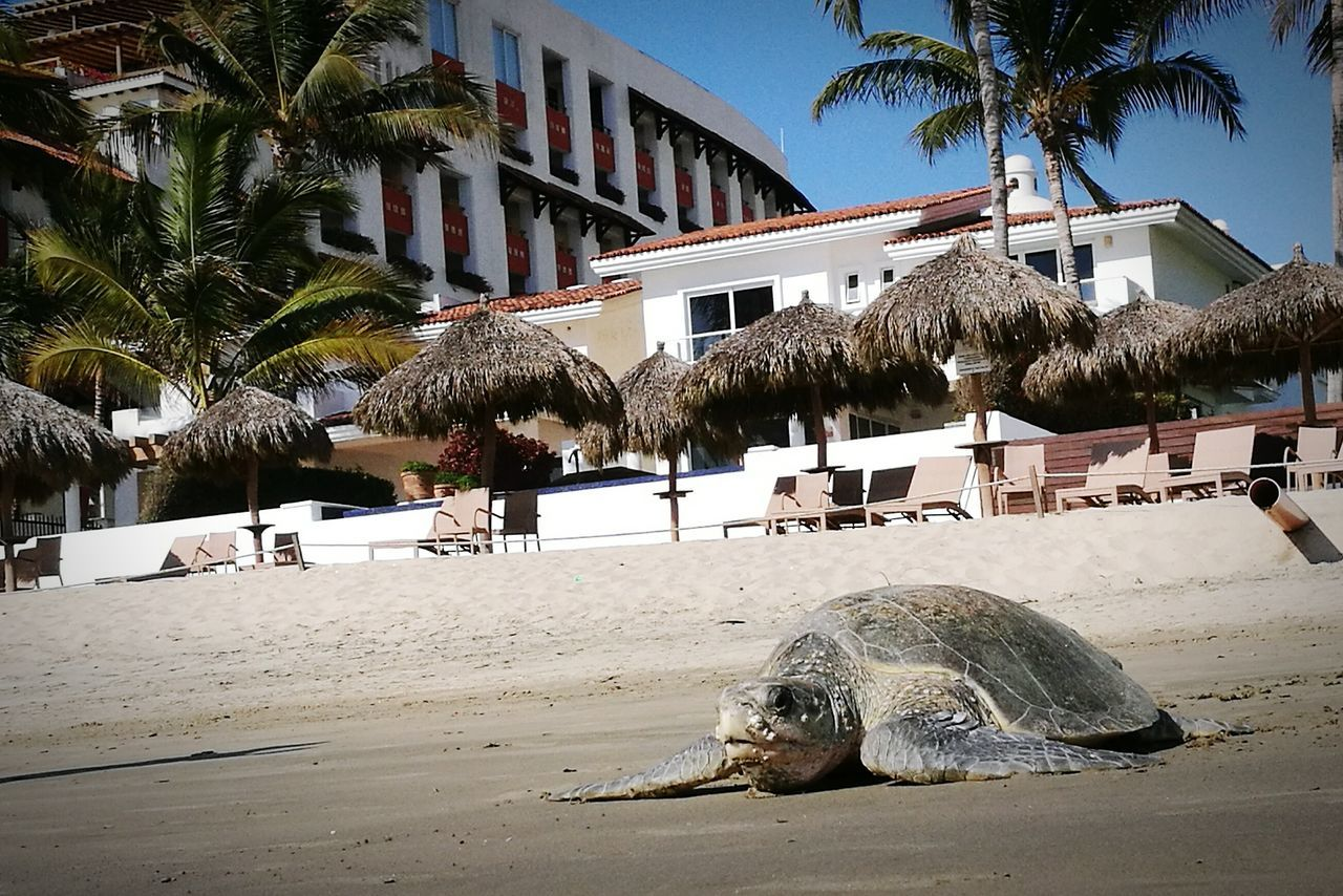 Turtlebeach Turtles In The Sun Beach Sand Day Nature Mexico's Sights