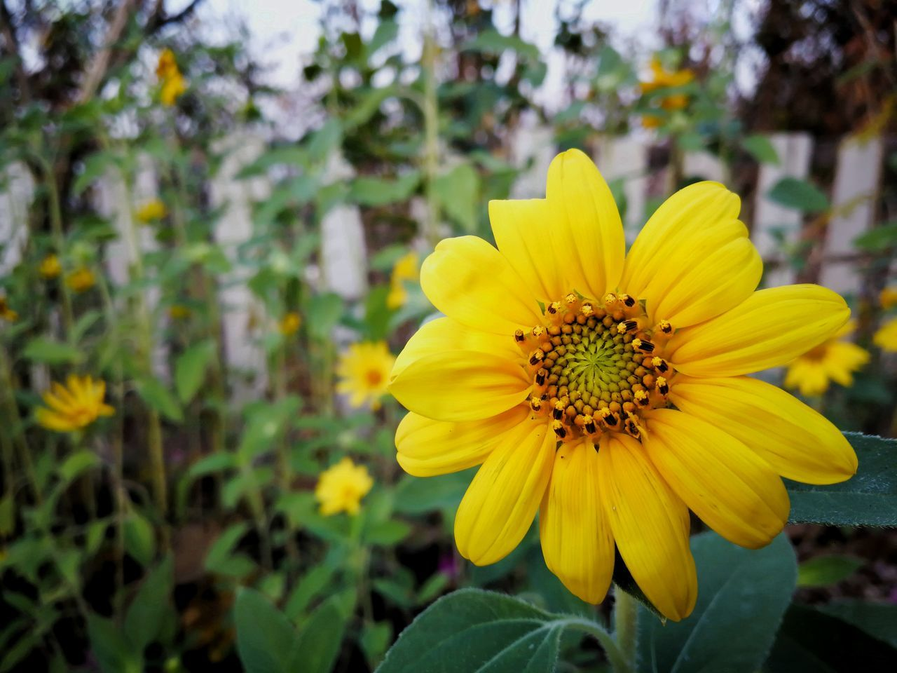 flower, yellow, petal, fragility, beauty in nature, nature, growth, flower head, plant, freshness, blooming, outdoors, focus on foreground, day, no people, close-up, leaf, springtime