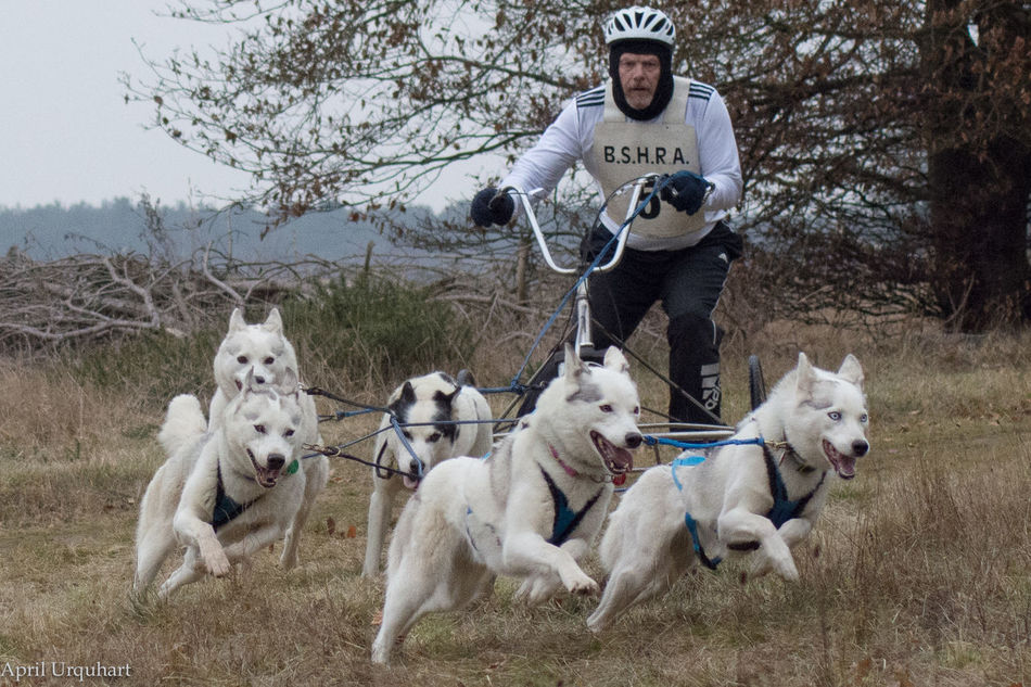 Siberian husky racing Action Photography Action Shot  Animal Themes Check This Out Dog Dog Racing Dogs Are For Life Dogs In Harness Don't Try This At Home Freeze Action Leaping No Snow Siberian Husky Racing Not A Cheap Hobby Not A Pet Outdoors Racing Animals Running Dogs Siberian Husky Racing Tongues Hanging Out Traininghard Walking In The Forest White Dogs Winters Day