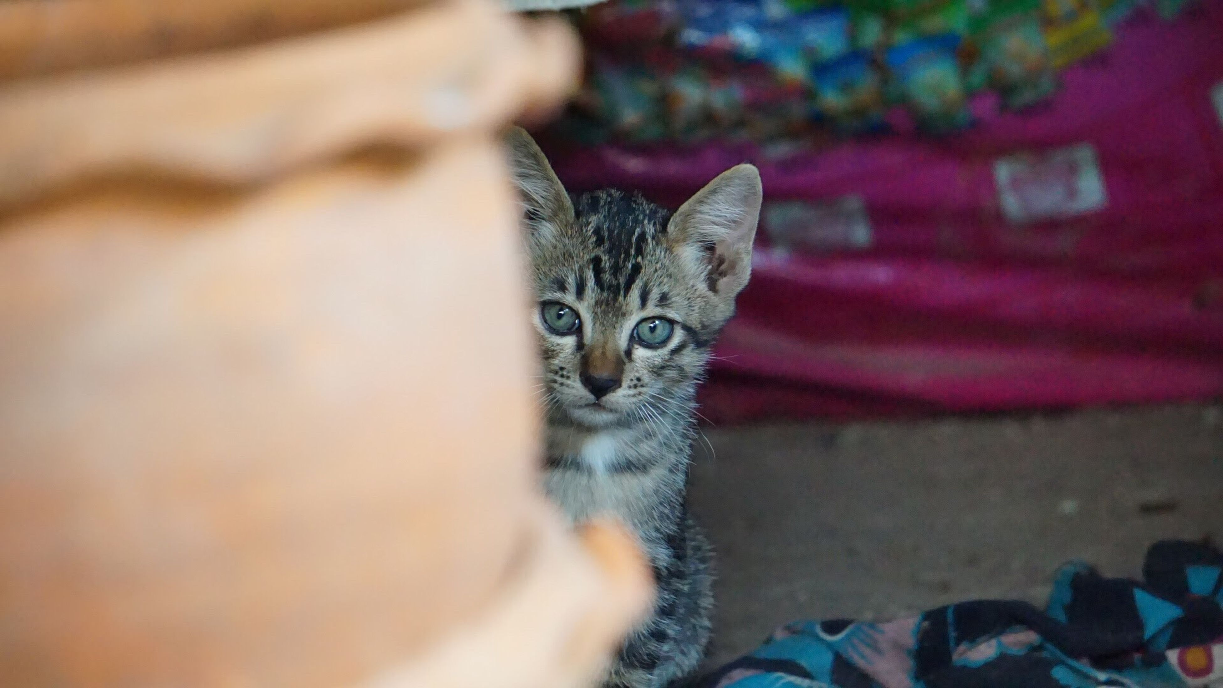 one animal, domestic cat, animal themes, mammal, pets, domestic animals, feline, indoors, no people, tabby, close-up, day