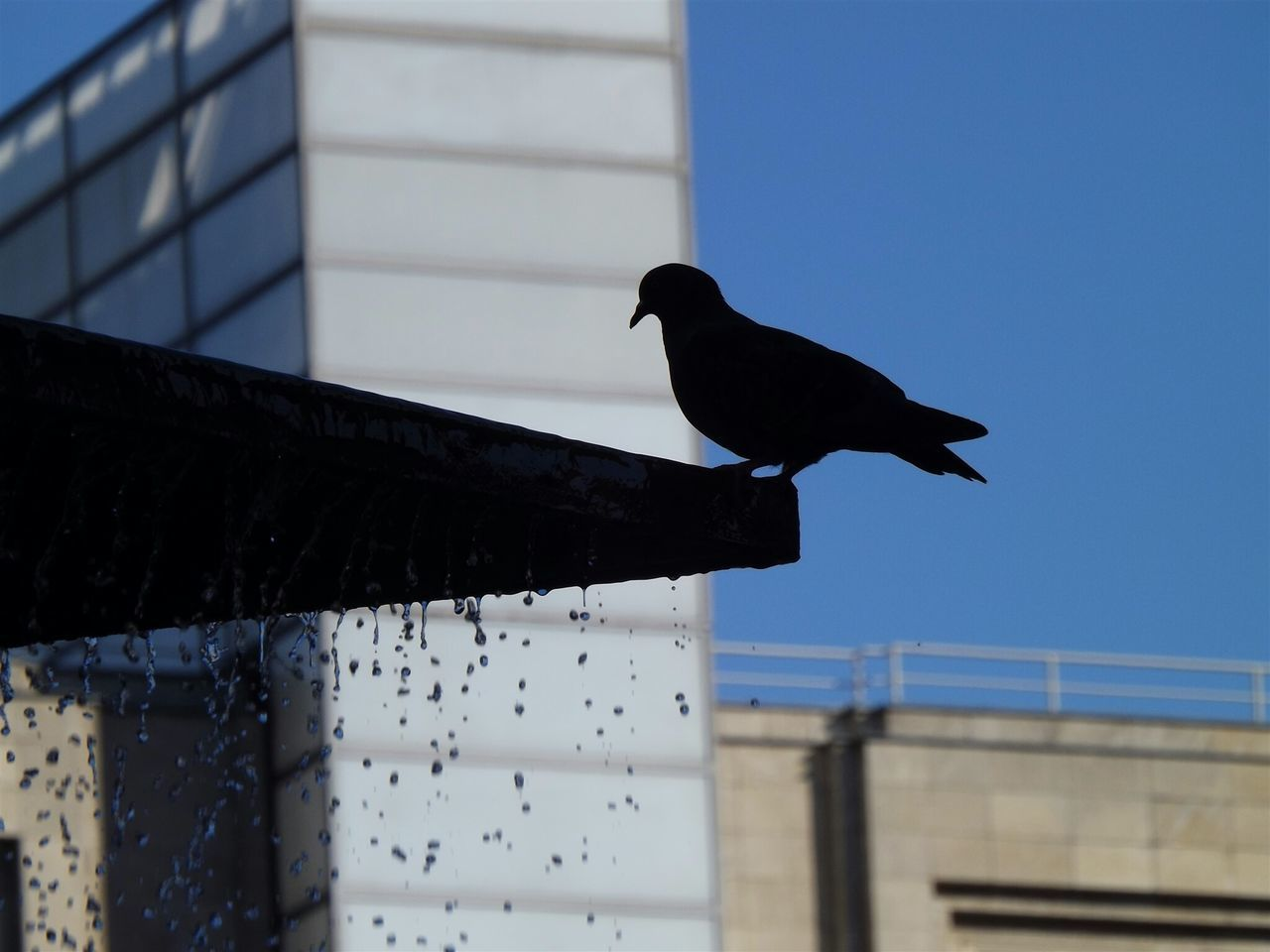 Silhouette Pigeon Perching On Fountain By Building